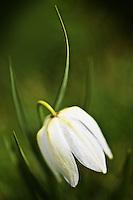 White Fritillaria