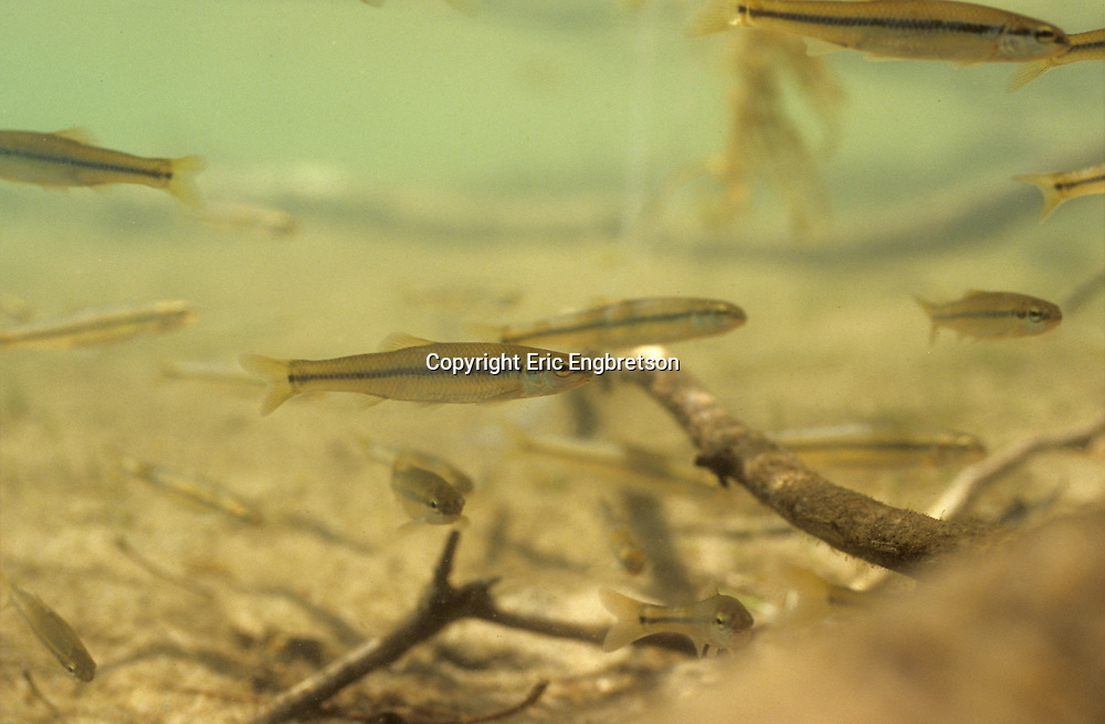 Bluntnose Minnow<br />