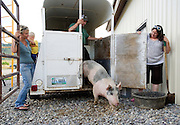 PRICE CHAMBERS / NEWS&amp;GUIDE<br /> A Pinedale pig steps out of a rancher Jonnie Wright's trailer and into the holding pin behind Hog Island Meats. Dee Jay and Tamara Rammell, right, make sure the hog doesn't make a run for it.