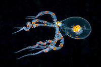 A Juvenile Octopus, likely Wunderpus, swims in the water column.  <br /> <br /> The main body of this individual is only about 2-3 cm in diameter.  The species was scientifically described only in 2006, so still not much is known its larval/planktonic stages.<br /> <br /> Shot in Indonesia