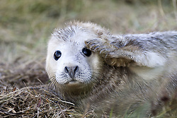 July 21, 2019 - Seal With Paw On Face (Credit Image: © John Short/Design Pics via ZUMA Wire)