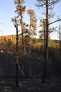 Ponderosa pine trees killed by Cajete Fire, showing blacked earth from very hot canopy and ground fire. Vew toward Los Griegos mountain on the south side of State Road 4. © 2017 David A. Ponton