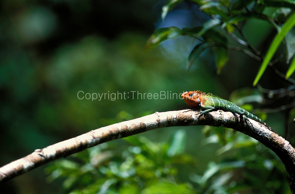 Green garden lizard, Sinharaja