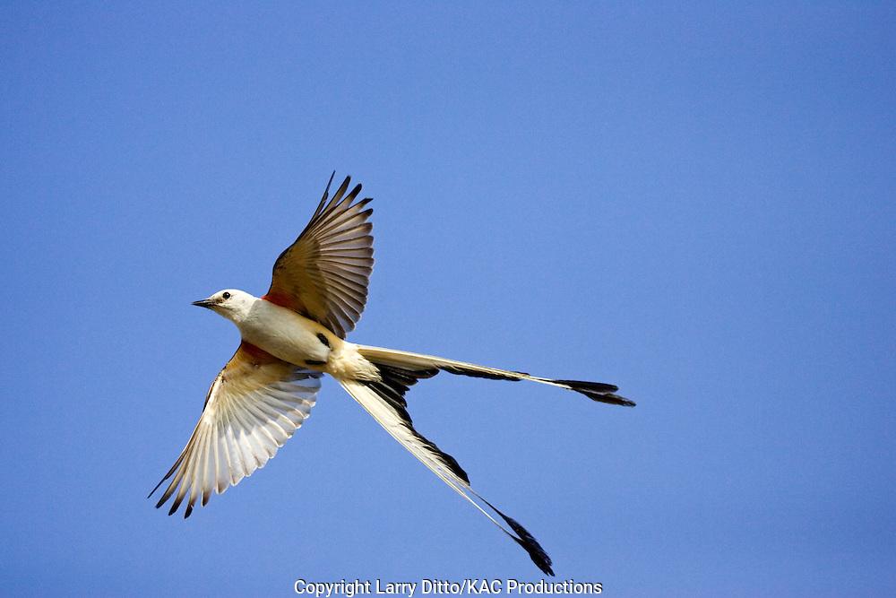 Scissor-tailed Flycatcher (Tyrannus forficatus) adult, spring, s. Texas