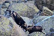 Spanish Ibex (Capra pyrenaica). Two old males in full combat during the rut season. Sierra de Gredos Mountain range, Avila province, Spain.