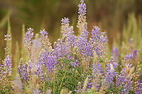 Another image out of Wyoming this flowering plant is in full bloom right now almost everywhere you look you will find this purple plant.