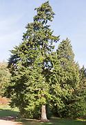 Western hemlock tree, Tsuga heterophylla National arboretum, Westonbirt arboretum, Gloucestershire, England, UK
