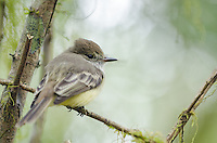 Endemic Galapagos flycatcher, Myiarchus magnirostris at Rancho El Manzanillo giant tortoise area on Santa Cruz Island on the Galapagos Islands, Ecuador.