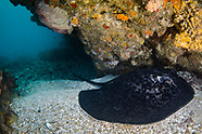 Blackblotched stingray (Taeniura meyeni)