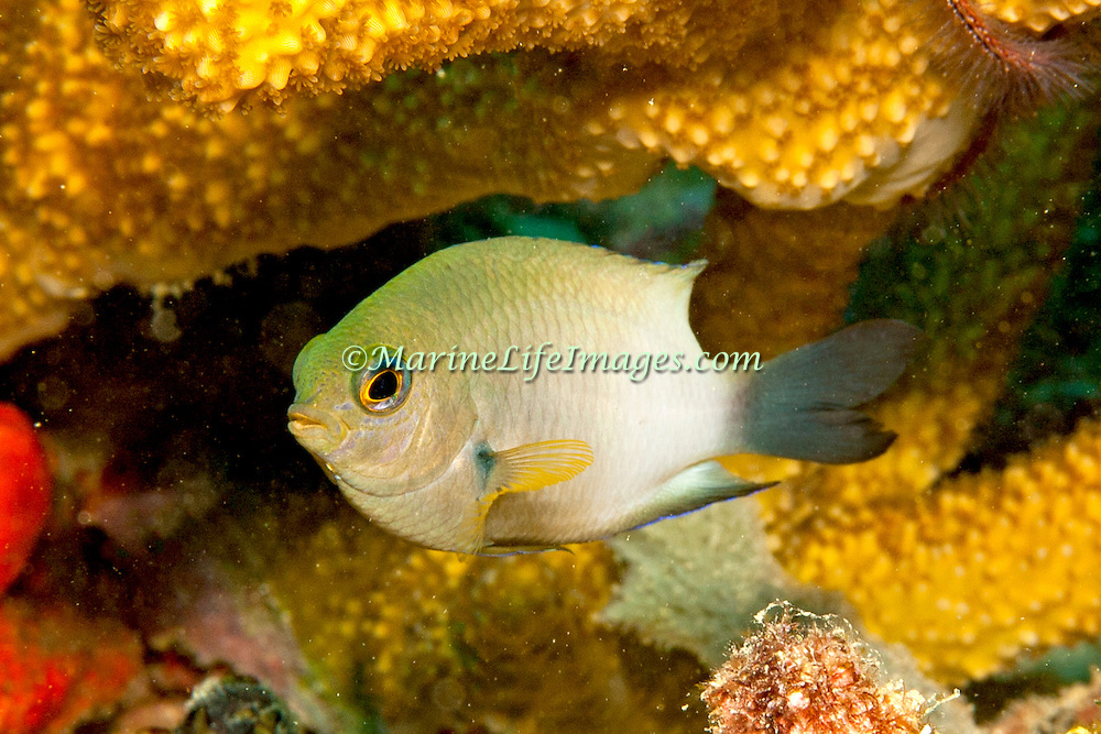 Bicolor Damsilfish inhabit patch reefs and areas of sand and coral rubble, in Tropical West Atlantic; picture taken Panama, near San Blas Islands.