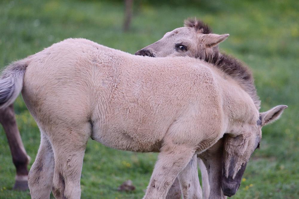 Wild living, reintroduced Konik horses, Sbor abandoned village, Eastern Rhodope mountains, Bulgaria