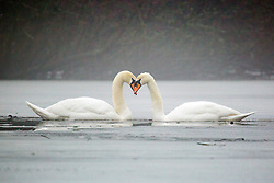 © Licensed to London News Pictures. 05/03/2018. Leeds UK. Two Swan's sit in the frozen lake at Golden Acre park in Leeds this morning as the county is covered with thick fog for a second day. Photo credit: Andrew McCaren/LNP