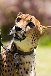 A cheetah (Acinonyx jubatus) on a leash, San Diego Zoo Safari Park, Escondido, California, United States of America