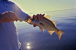 Stock photo of man holding a freshly caught white bass (Morone chrysops)