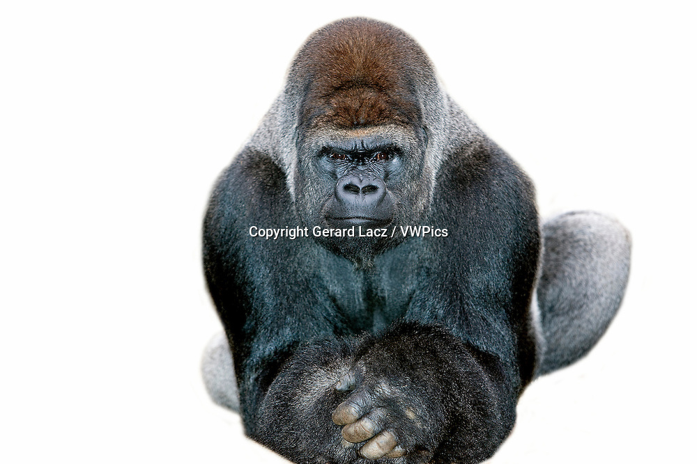 LOWLAND GORILLA gorilla gorilla graueri, MALE AGAINST WHITE BACKGROUND