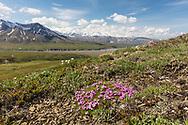 Moss Campion (Silene acaulis) overlooking Thorofare Pass in Denali National Park in Interior Alaska. Summer. Morning.