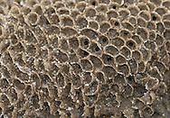 honeycomb worm<br /> sabellaria alveolata