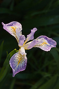 Oregon Iris (Iris tenax); western Oregon.
