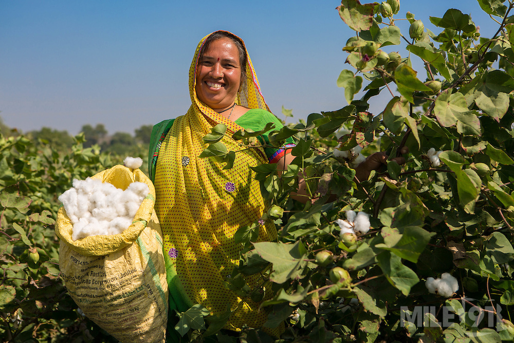 A portrait of Prabhaben harvesting cotton on their farm in Ahmedabad, India.<br /> <br /> They have recently installed some drip irrigation on their farm and they are seeing some real improvements in their cotton plants but they are also saving water and time.