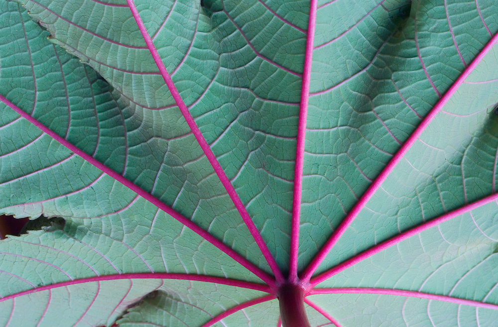 Closeup of underside of plant with red veins leaves and stem.