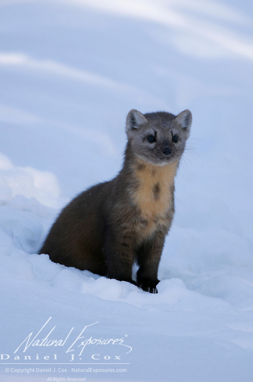 Pine Marten (Martes martes) in Yellowstone National Park.
