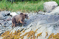 Brown Bear, ursus arctos perusing the intertidal zone at Russells Cut in Glacier Bay National Park, Alaska.