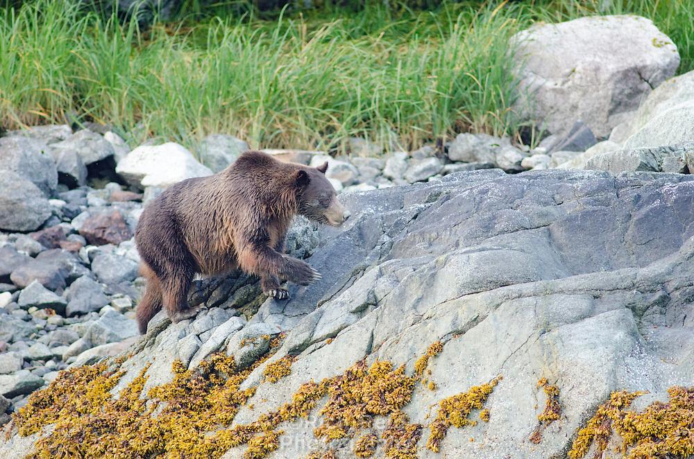 Brown Bear, ursus arctos perusing the intertidal zone at Russells Cut in Glacier Bay National Park, Alaska.