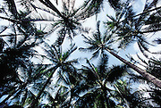 Palm trees viewed from below.