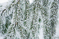 Closeup of snow on needles of a Fir tree.