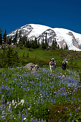 Hikers walk through a meadow trail with wildflowers and Mount Rainier in the background, Mt. Rainier National Park, Washington, United States of America