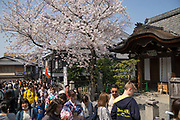 Views and scenes in Kyoto during Spring cherry blossom season.