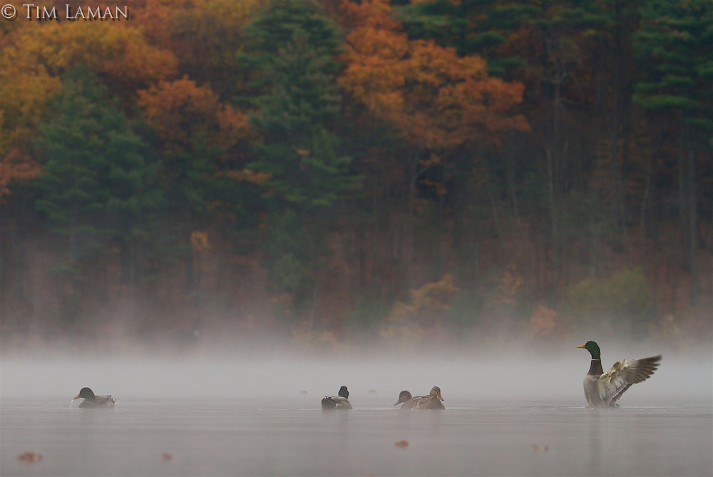 Mallards in the morning mist.
