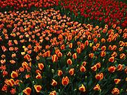 Tulips, Longwood Gardens, Kennett Square, Delaware Co., PA