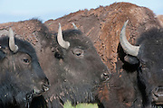 American Bison on the Medano Ranch,San Luis Valley,Colorado