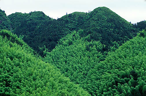 China, Pine trees dispersed within bamboo forest near city of Hangzhou.