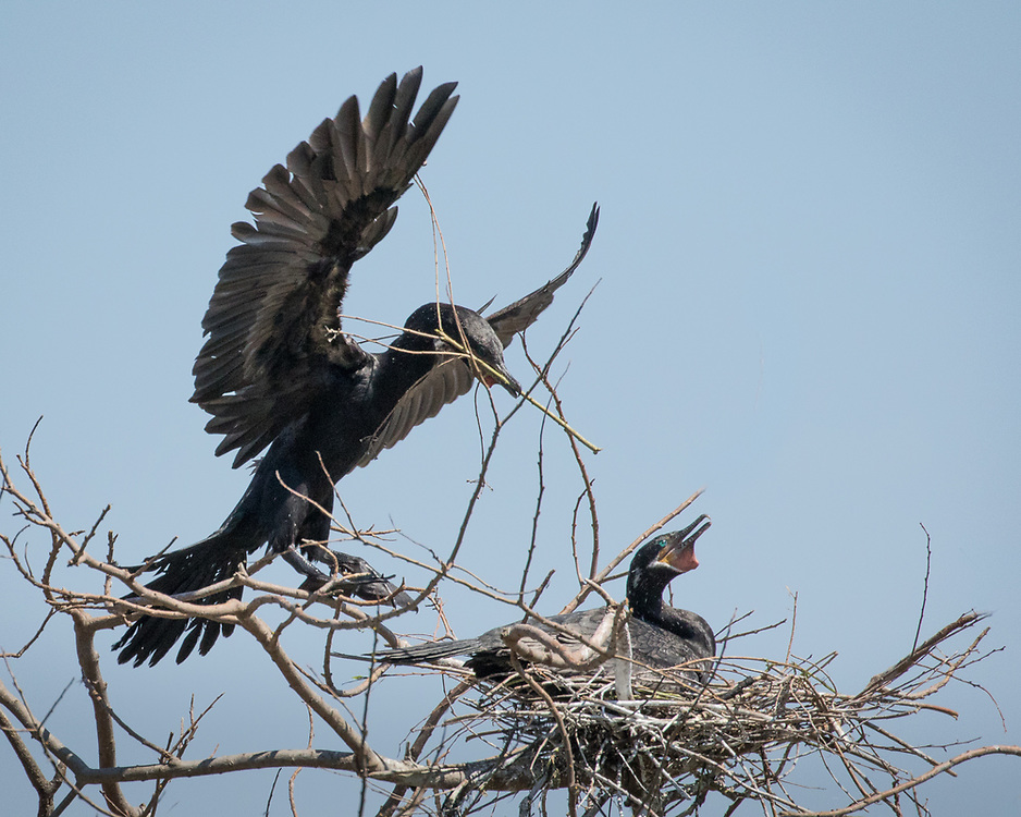 Phalacrocorax brasilianus, nest, East Texas
