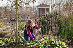 Cutting back perennials (phlomis) in early spring