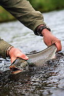 Fishing for Dolly Varden Trout (Char) on a remote stream on the Alaska Peninsula
