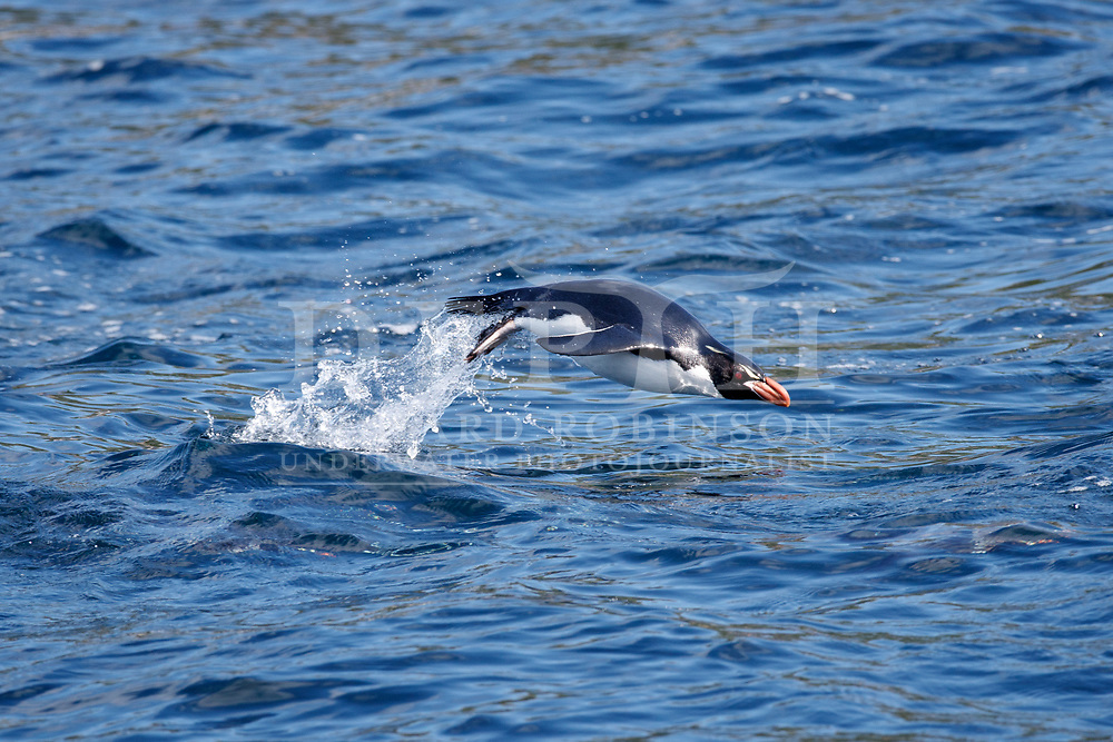 Snares Crested Penguin (Eudyptes robustus) return from foraging off the Snares (Tine Heke) Sub Antarctic Island Group in the Southern Ocean, New Zealand.<br /> December 2016.<br /> Photograph Richard Robinson &copy; 2016