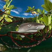 A baby lemon shark swimming in the protection provided by mangroves. Lemon sharks depend on mangroves for the survival of the first 5-8 years of their lives. Mangroves are disappearing throughout the world and the fate of the lemon shark is left in the balance. We need to get proper protections for the world's mangroves and then enforce them.