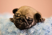 12-day old pug