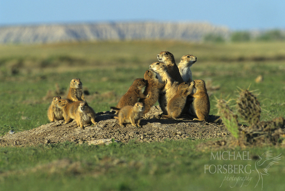 Highly social, black-tailed prairie dogs greet each other with kisses and grooming.  They transform the prairie landscape with their towns, creating a tunnel system that aerates, fertilizes, and allows water to infiltrate the soil and provides habitat and food sources for over a hundred other vertebrate species.  Viewed as a competitor with livestock on rangeland, prairie dog populations have been reduced by over 90 percent in the past century.  Buffalo Gap National Grassland, South Dakota.