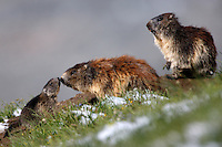 Alpine Marmot (Marmota marmota), female with cub. Hohe Tauern National Park, Carinthia, Austria