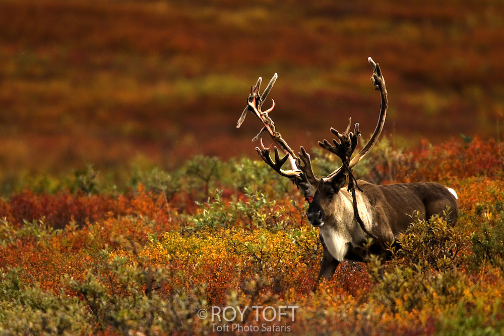 A male caribou with antler velvet shedding in autumn.