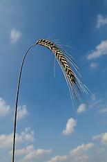 Poaceae, grassenfamilie