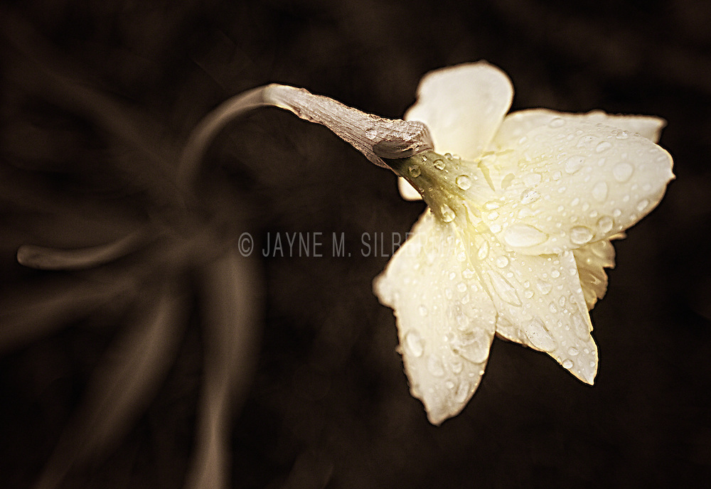 Rain drenched sepia toned daffodil.