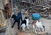 Domestic baby goats, kids, ourside a house in Nepal