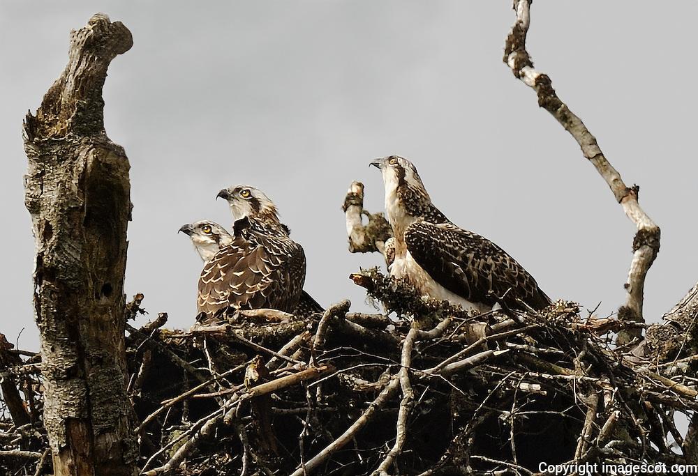 Osprey chicks, 6-7 weeks old