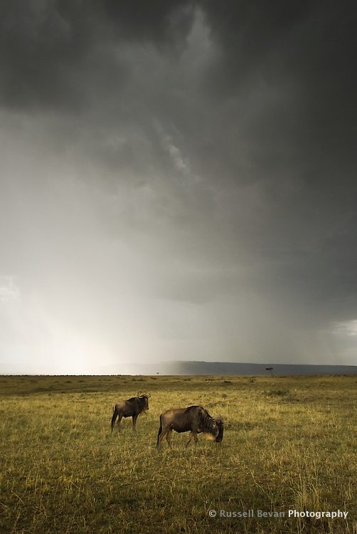 Two blue wildebeest graze as a storm passes in the Masai Mara National Park, Kenya