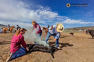 Calf branding at the Theodore Roosevelt Memorial Ranch near Dupyer, Montana, USA